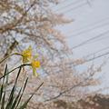 Photos: 春の陽気 (4) 2011年 4月 水仙と春