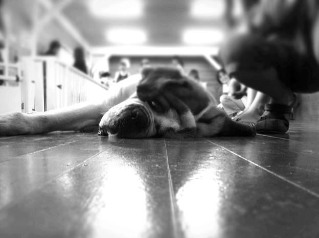 うだる暑さ。犬も溶ける。