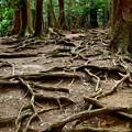 写真: 2017_1001_132453 木の根道