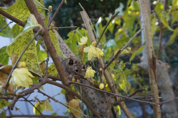 もう 蝋梅が咲き出した