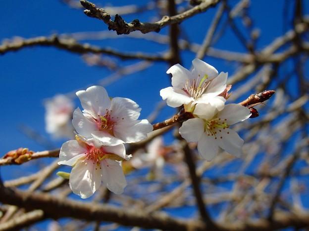 秋咲きの桜