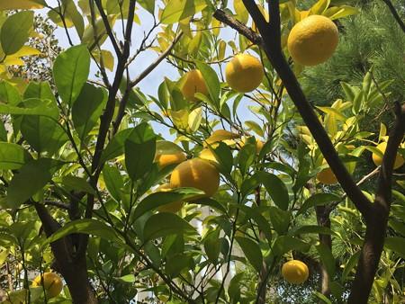 近所の柑橘系