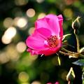 薔薇~マジカル ミラクル