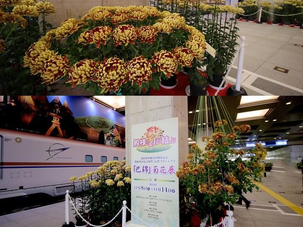 Photos: 金沢駅コンコースで菊花展~巴錦
