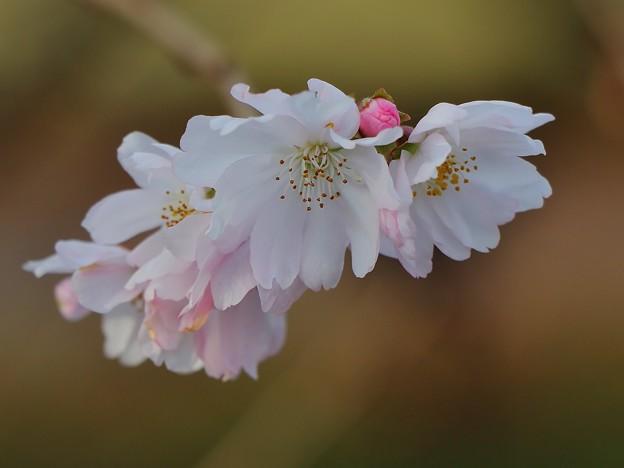 Photos: さくら~十月桜