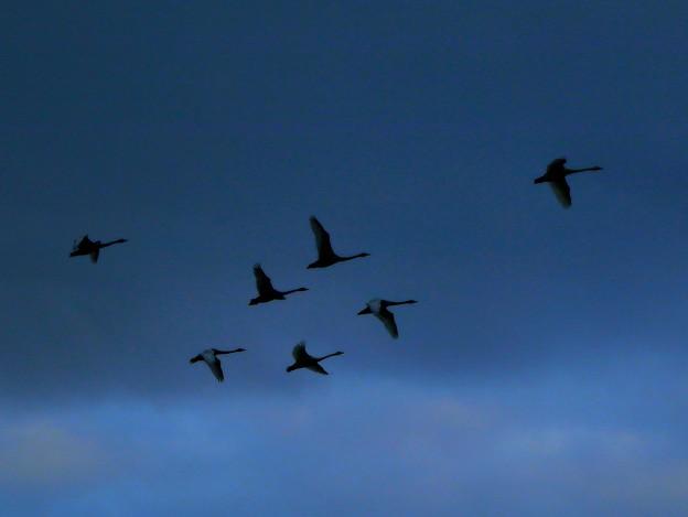 Photos: 白鳥の飛翔~今季初撮り
