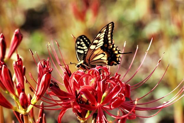 写真: 今日の1枚>アゲハチョウと曼珠沙華 IMG_4870