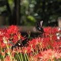 写真: 今日の1枚>ヒガンバナとモンキアゲハ IMG_5430