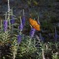 写真: 今日の1枚>花と蝶 IMG_4295