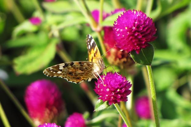 花と蝶~吸蜜中 IMG_0833