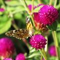Photos: 花と蝶~吸蜜中 IMG_0833