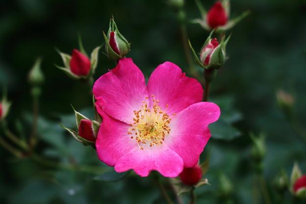 薔薇 IMG_6875
