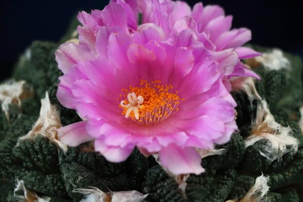 サボテンの花 IMG_6914