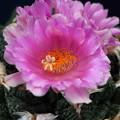 Photos: サボテンの花 IMG_6914