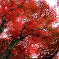 写真: 紅葉#3 IMG_7979