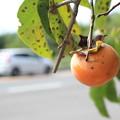 写真: 道端の柿