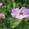 写真: ピンクのコスモス2