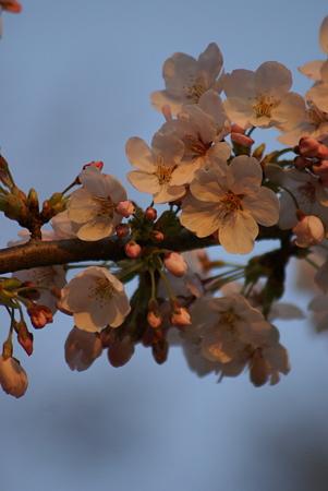 朝陽をあびる桜・その3