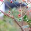写真: 野薔薇の実