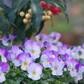冬花寄せ植え