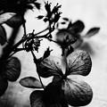 写真: 枯れた紫陽花