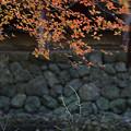 満天星の紅葉