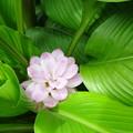 写真: ウコンの花