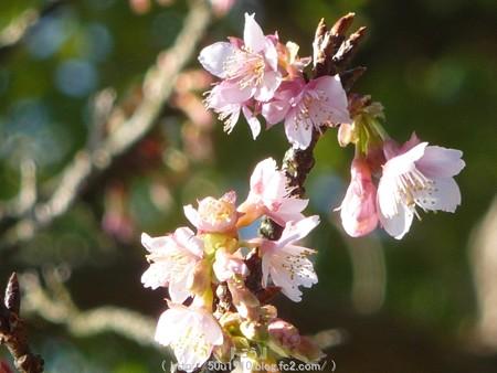 150108-久能山 桜 (4)