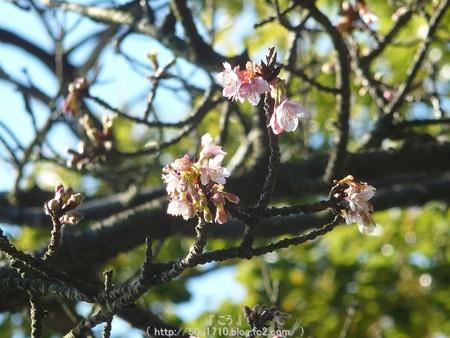 150108-久能山 桜 (7)