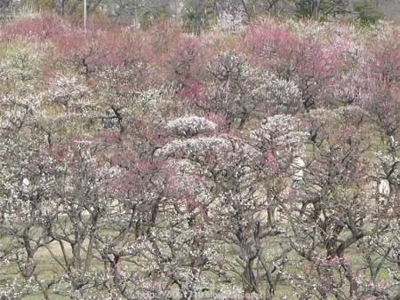 140308-大阪城梅林 (128)