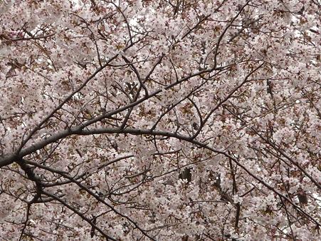 100404-海軍道路の桜 (13)