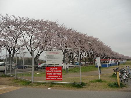 100404-海軍道路の桜 (37)