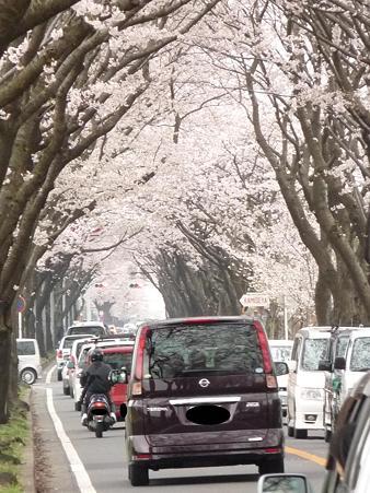 100404-海軍道路の桜 (67)