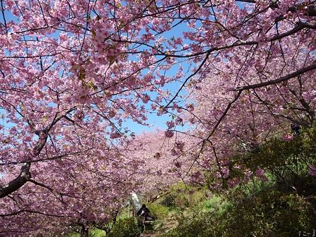 110305-松田山 河津桜 (63)