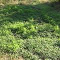 写真: [緑肥] ヘアリーベッチ