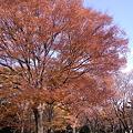 Photos: ケヤキ紅葉
