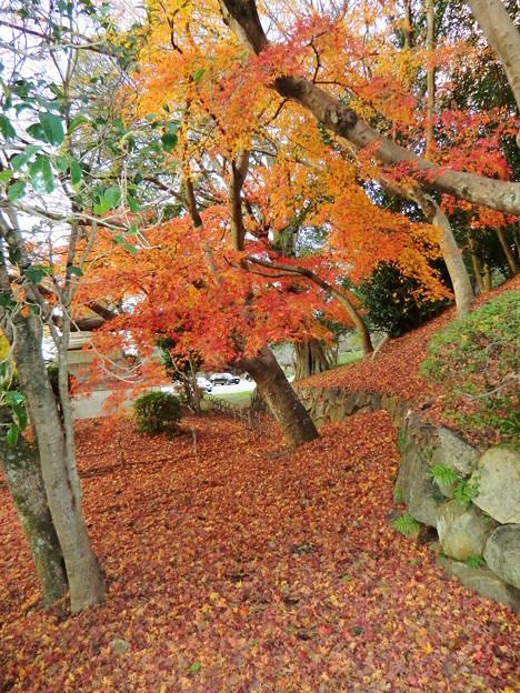 彦根城の散紅葉とひこにゃん (52)