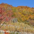 写真: 三国川ダムの紅葉