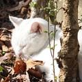 Photos: のら白猫