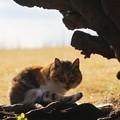 にらむ猫@城ケ島