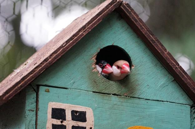 ブンチョウの家