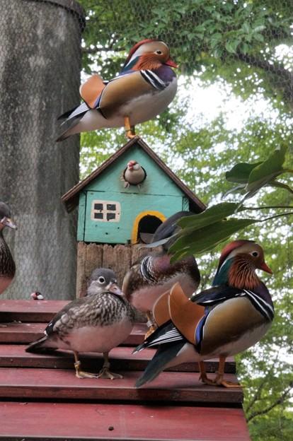 Photos: ブンチョウの家とオシドリ