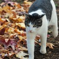 写真: 落ち葉と猫