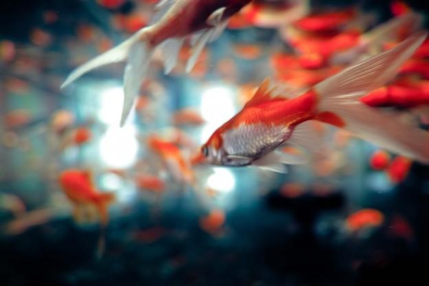 金魚 No.2