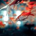Photos: 金魚 No.2