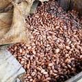 modified_Fermentation cocoa beans
