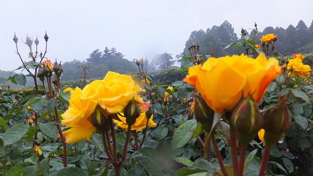 バラの花7