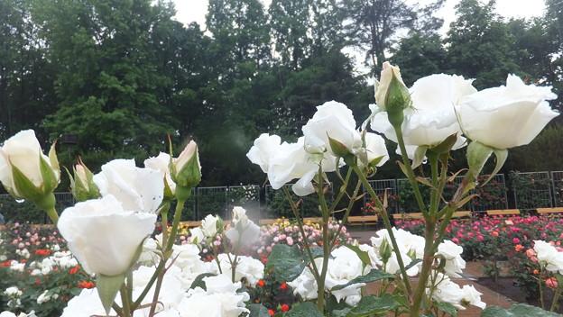 バラの花12