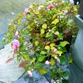 写真: 雨に叩かれた八重咲きインパチェンス