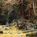 写真: 師走の大銀杏の風景